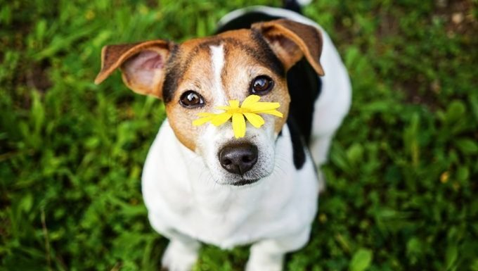 dog with flower on nose