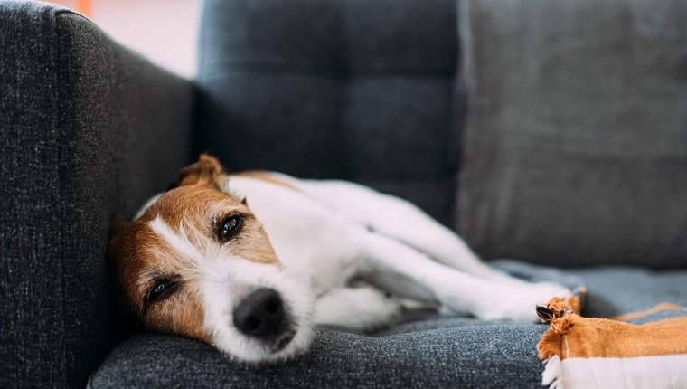 Parson Russell Terrier dog feeling tired, desperate and sleepy, lying on a charcoal grey sofa at home