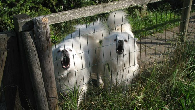 samoyed dogs behind fence