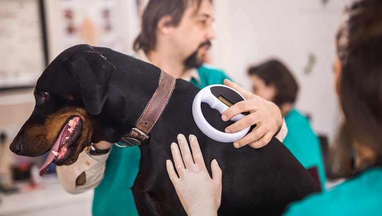 Veterinarians cooperating while scanning a dog's chip at vet's office.