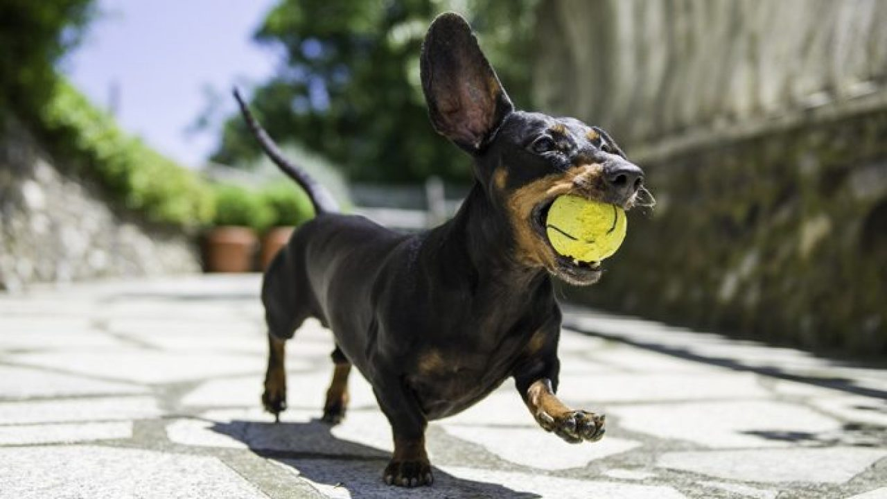 30 Best Dog Names For Dazzling Dachshunds Pictures Dogtime