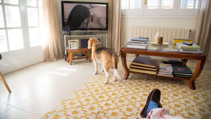 dog watching tv, might get startled