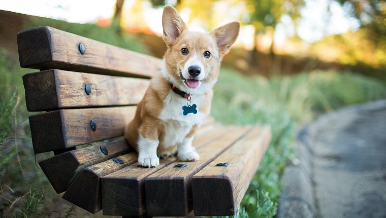 A Pembroke Welsh corgi puppy sits on a bench at a park outdoors.