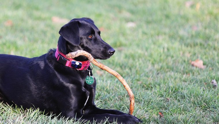 A pretty black labrador retriever mixed breed dog holds her favorite wooden stick in her front paws while her attention is focused elsewhere. She is wearing two pet collars - one carries her license and tags including the Dog Parks permit - and the other holds a battery for the invisible fence security barrier correction device.