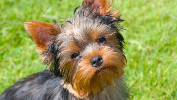 yorkie in grass thinking about the best yorkshire terrier dog names