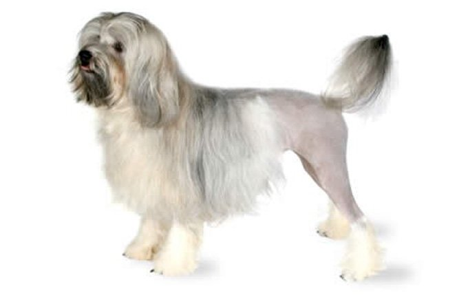 10-small-dogs-lowchen