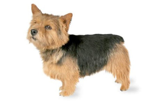 13-small-dogs-norwich-terrier