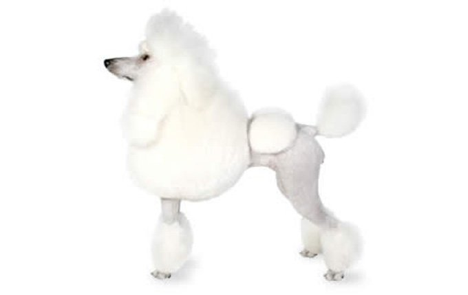 16-small-dogs-poodle