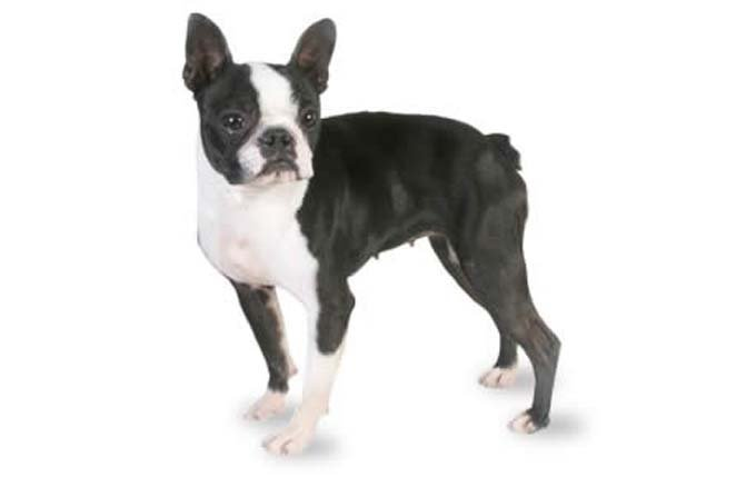 3-small-dogs-boston-terrier