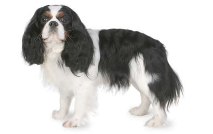 4-small-dogs-cavalier-king-charles-spaniel