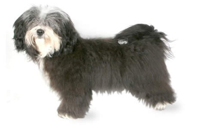 8-small-dogs-havanese