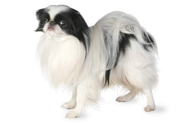 9-small-dogs-japanese-chin