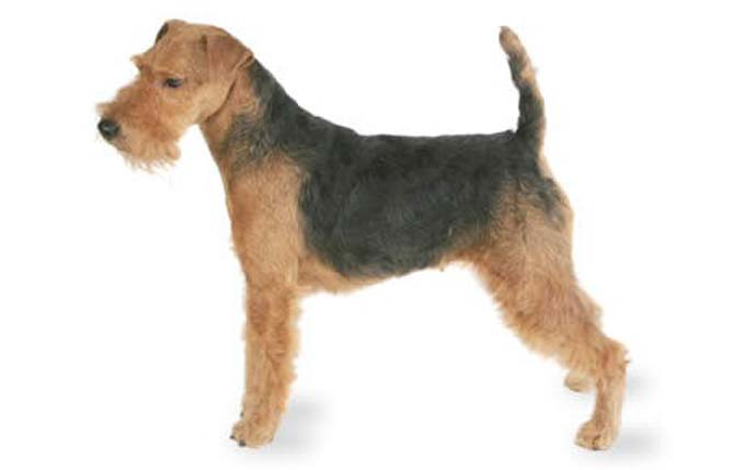 high-energy-small-dog-welsh-terrier