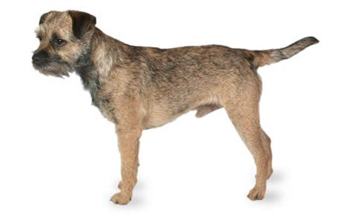 small-dogs-border-terrier