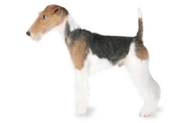 small-dogs-fox-terrier