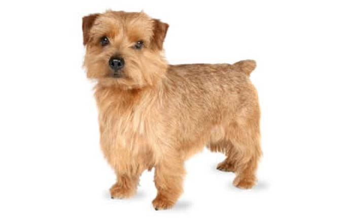 small-dogs-norfolk-terrier