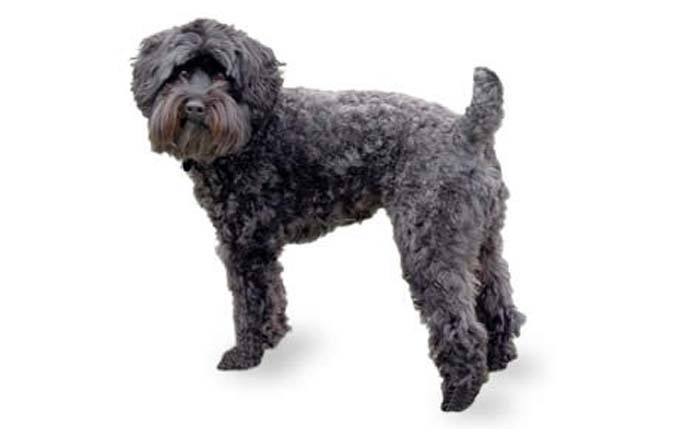 small-dogs-schnoodle