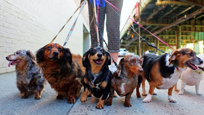 dog walker walking group of small dogs