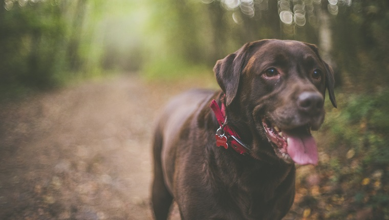 6 year old Chocolate Labrador called Bob out getting exercise and enjoying his walks. Taken near Pontefract in West Yorkshire