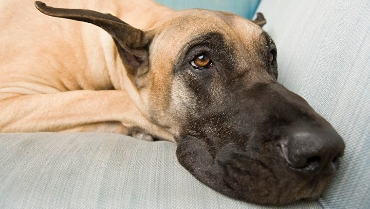 Great dane on a sofa