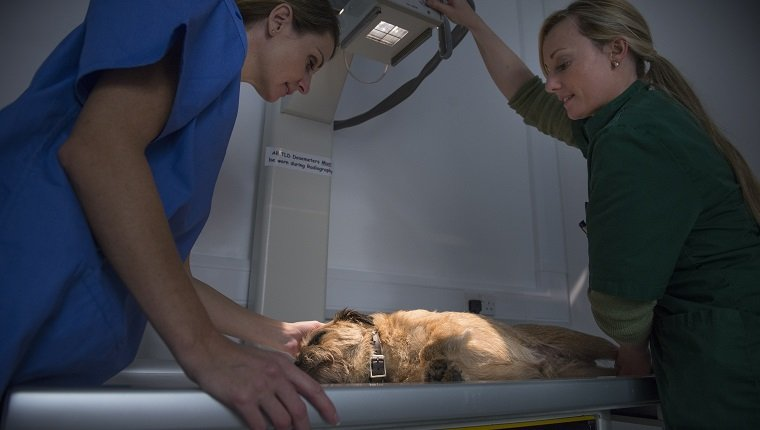 Vets performing xray on dog in veterinary surgery