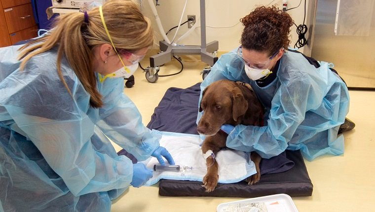 NEWMARKET, ON - MAY 15: Six-year-old chocolate Labrador Retriever, Oliver, is given chemotherapy during visit at 404 Veterinary Referral Hospital in Newmarket. An overview of veterinary care in Canada which kicks off a series of stories by various reporters on such issues as cancer and pet insurance. (Andrew Francis Wallace/Toronto Star via Getty Images)