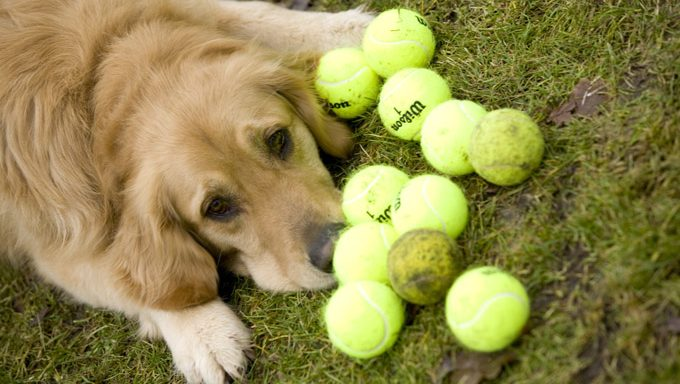 golden retriever with tennis balls learning how to play fetch