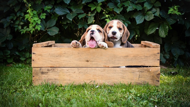 two beagle puppies outdoor