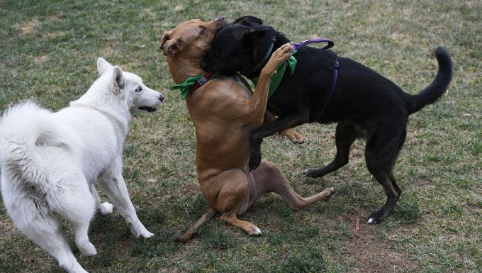 yard safety--Dogs wrestle in the yard