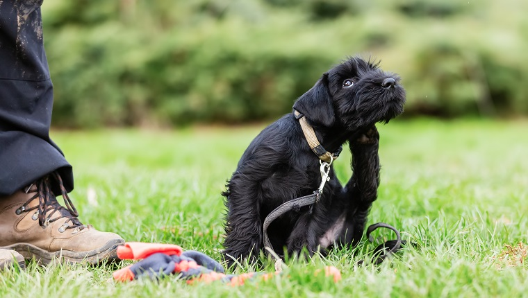 standard schnauzer puppy sitting beside the master on a dog training field scratching behind the ear
