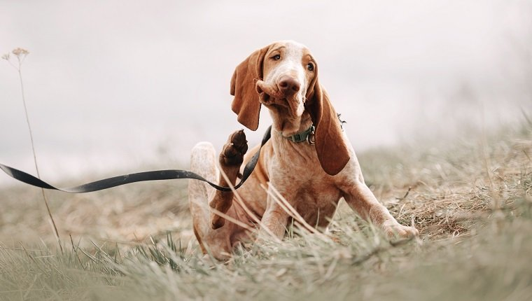 adorable bracco italiano puppy scratching outdoors