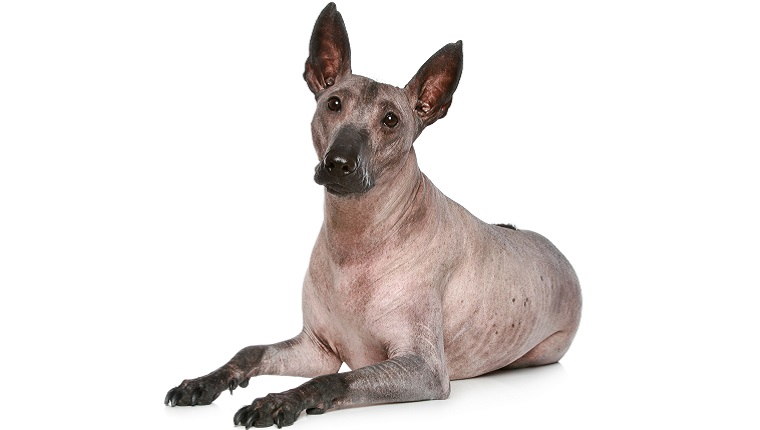 A Xoloitzcuintli lies down in front of a white background.