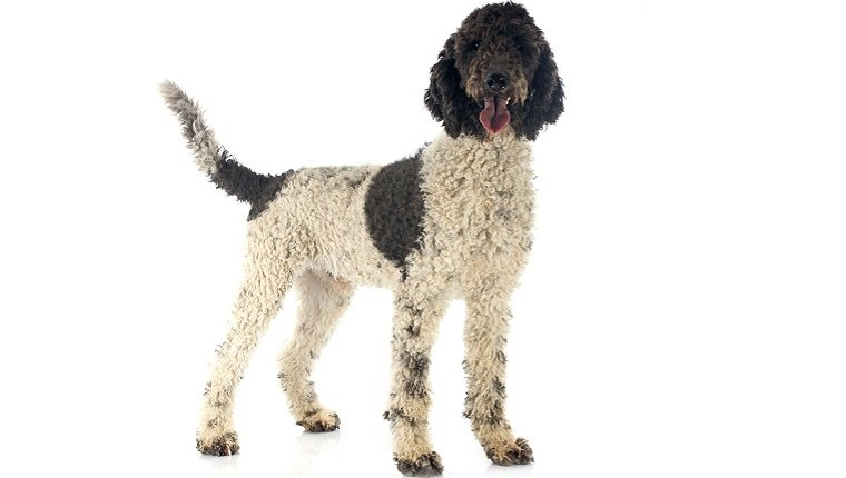 A Portuguese Water Dog with white and black fur stands in front of a white background.