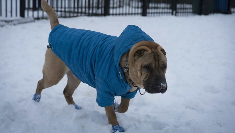 Shar-pei in winter pawz rubber booties and coat playing in the snow.