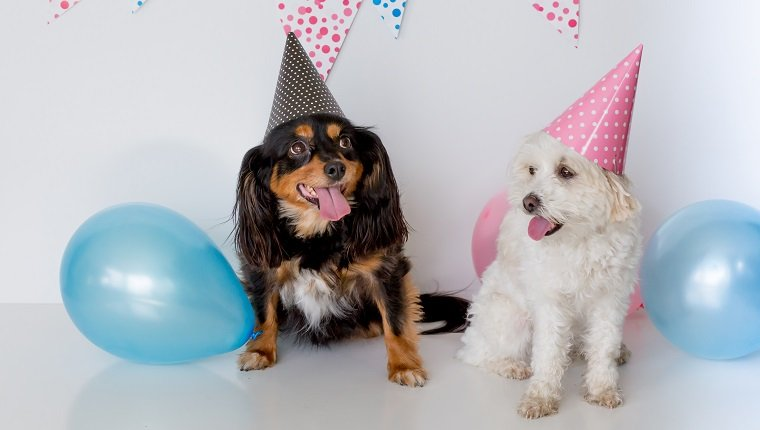 small dogs sitting down with party hats on and happy faces, white background with pink and blue bunting