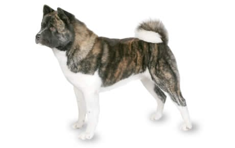 Akita Dog Breed Information Pictures Characteristics Facts Dogtime