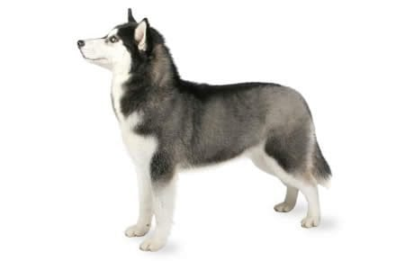 Siberian Husky Dog Breed Information Pictures Characteristics Facts Dogtime