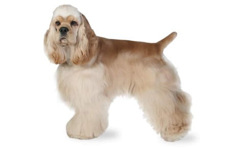 Cocker Spaniel Dog Breed Information Pictures Characteristics Facts Dogtime