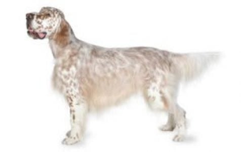 English Setter Dog Breed Information Pictures Characteristics Facts Dogtime
