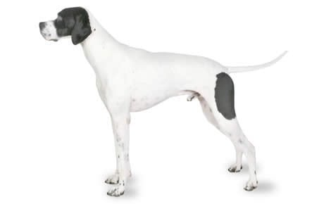Pointer Dog Breed Information, Pictures, Characteristics & Facts - Dogtime