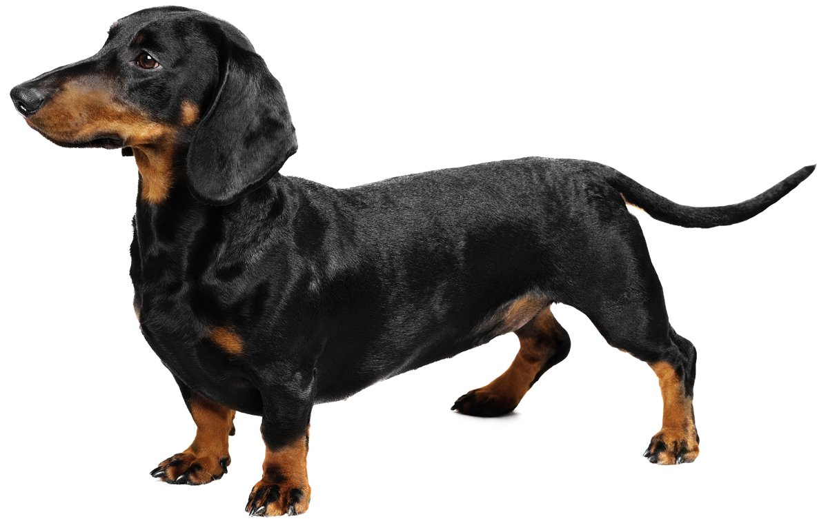 Dachshund Dog Breed Information Pictures Characteristics Facts Dogtime