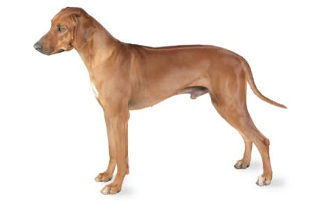 Rhodesian Ridgeback Dog Breed Information Pictures Characteristics Facts Dogtime