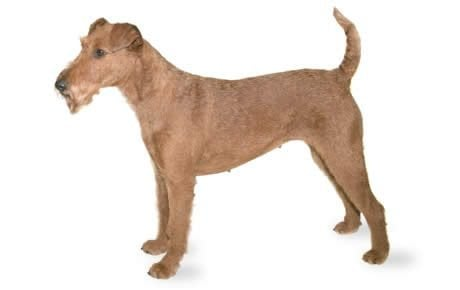 Irish Terrier Dog Breed Information Pictures Characteristics Facts Dogtime
