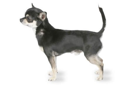 Chihuahua Dog Breed Information Pictures Characteristics Facts Dogtime