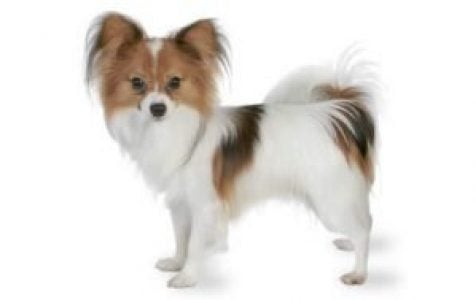 Papillon Dog Breed Information Pictures Characteristics Facts Dogtime