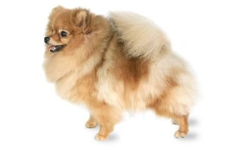 Pomeranian Dog Breed Information Pictures Characteristics Facts Dogtime