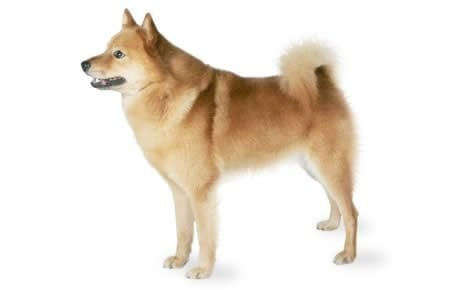 Finnish Spitz Dog Breed Information Pictures Characteristics Facts Dogtime