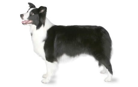Loving new border looking homes for collies Dogs Needing