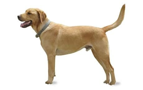 Goldador Mixed Dog Breed Information Pictures Characteristics Facts Dogtime