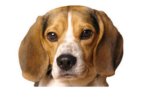 Pocket Beagle Dog Breed Information Pictures Characteristics Facts Dogtime